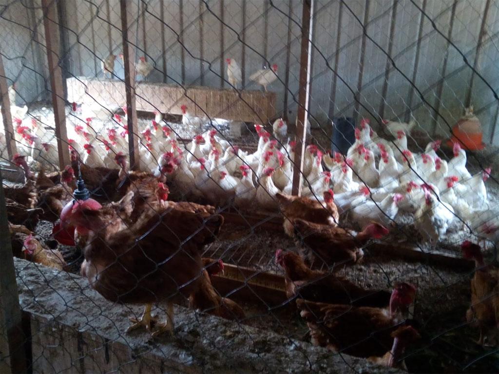 Chickens in Manos Amigas Guatemala